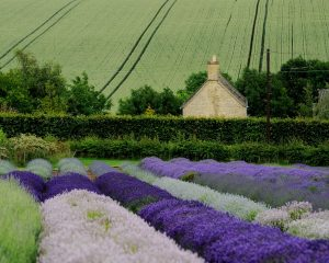 Varieties of Lavender in the Cotswolds, UK
