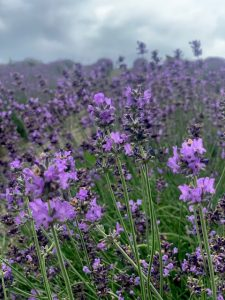 The scent of lavender fills the air