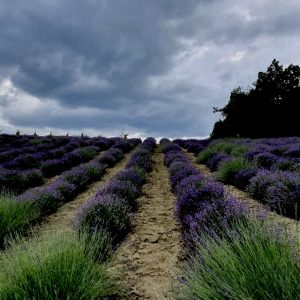 A storm brews over the Lavender fields of Italy