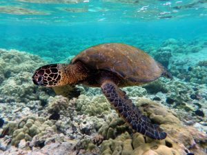 Discover turtles at Heron Island - photo curtesy of Brocken Inaglory